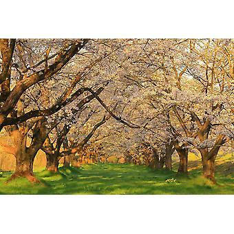 Fondo de pantalla Mural Shizukuishi Orchard of Cherry Trees, Japón