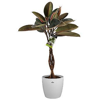 Kamerplant – Rubberboom incl. sierpot wit als set – Hoogte: 100 cm