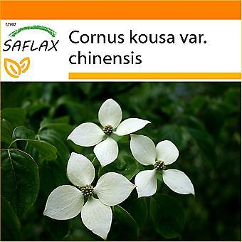 Saflax - Puutarha Bag - 30 siementä - Kiinan Dogwood - Cornouiller du Japon - Corniolo giapponese - Cornejo chino - Asiatischer Blüten - Hartriegel