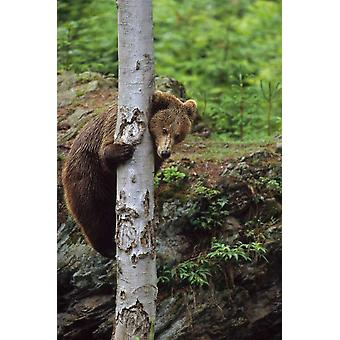 Brown Bear adult climbing a tree Europe Poster Print by Konrad Wothe
