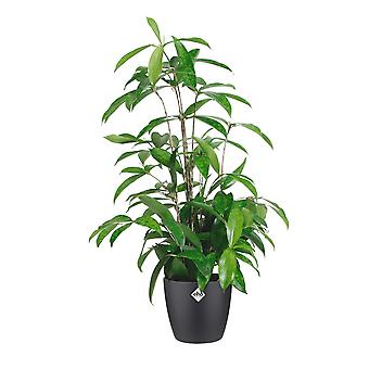 Choice of Green - Dracaena surculosa -  Dragon Tree - in ELHO® Brussels black