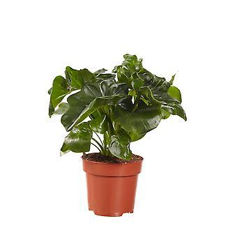 Kamerplant van Botanicly – Philodendron Atom – Hoogte: 40 cm