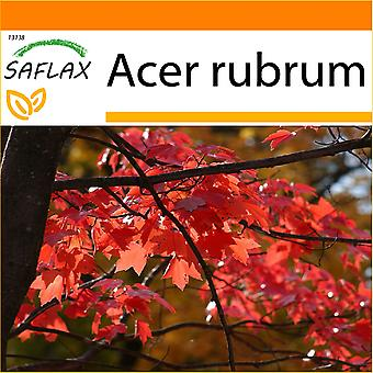 Saflax - jardin dans le sac - 20 graines - érable rouge - Erable rouge - Acero rosso - Arce rojo - Rotahorn