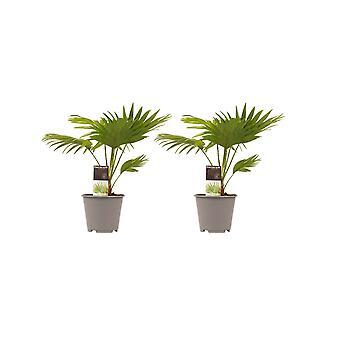 Decorum Duo 2 x Livistona Rotendifolia - Hoogte 45 - Diameter pot 23