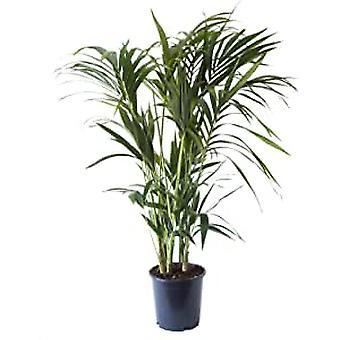 Kentiapalm ↕ 100 tot 260 cm verkrijgbaar met bloempot | Howea Forsteriana