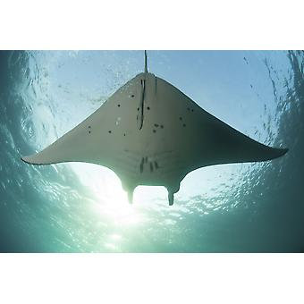 A manta ray swims into the sun in the tropical Pacific Ocean Poster Print