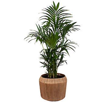 [NE i BE] Kentia Palm w dangan ozdobny garnek - Wysokość 140 - Garnek średnica 27