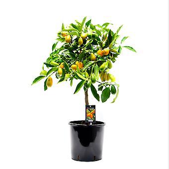 Hedelmäkasvi kasvitieteellisesti – Citrus Kumquat – Korkeus: 85 cm