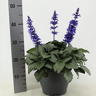 Herb Plant from Botanicly – Salvia Mystic Spires Blue – Height: 40 cm