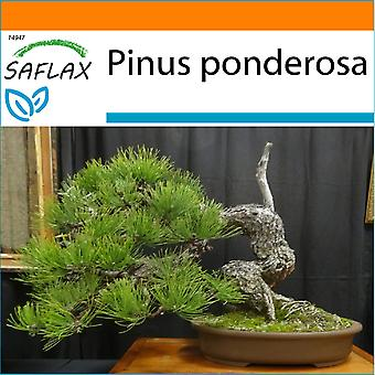 Saflax - tuin in de zak - 20 zaden - Bonsai - Ponderosa Pine - Pin ponderosa - Pino giallo - Pino amarillo occidental - B - Goldkiefer