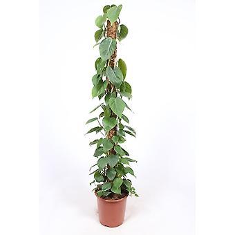 Pianta d'appartamento da Botanicly – Filodendro – Altezza: 150 cm – Philodendron scandens