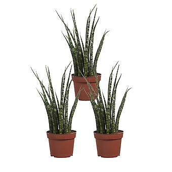 3X Vrouwentong - in kweek pot - hoogte 25-30  cm - kamerplant - Sansevieria