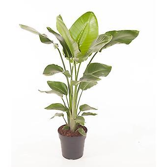 Zimmerpflanze von Botanicly – Paradiesvogelblume – Höhe: 100 cm – Strelitzia Nicolai