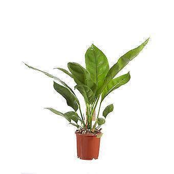 Anthurium Jungle King 14 cm kwekkerspot 60 cm hoog