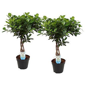 Lorbeer-Feige ↕ 55 bis 55 cm verfügbar mit Übertopf | Ficus Moclame