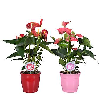 MoreLIPS® - 2 Flamingoplanten rood en roze - luchtzuiverende kamerplanten Anthurium andreanum