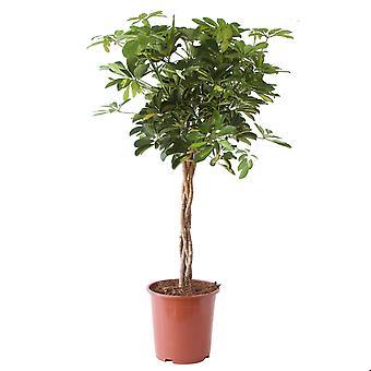 Kamerplant van Botanicly – Vingerboom – Hoogte: 100 cm – Schefflera arb. Gold Capella
