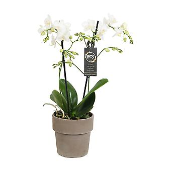 Choice of Green - Phalaenopsis Amore Mio Extension in terracotta pot - Butterfly Orchid
