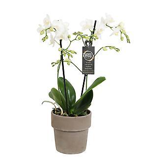 Escolha do verde - extensão de Amore Mio do Phalaenopsis no potenciômetro do terracotta - orquídea da borboleta