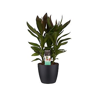 Kamerplant van Botanicly – Cordyline Fruticosa Glauca incl. sierpot zwart als set – Hoogte: 60 cm