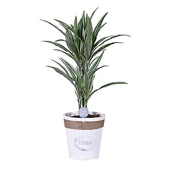 MoreLIPS® - Drakenbloedboom - in witte Chipwood pot - hoogte 60-70 cm Dracaena deremensis Warneckei