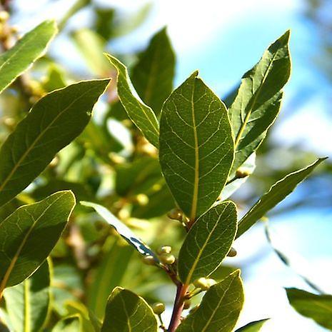 Laurus nobilis (True Laurel Tree) - Plant
