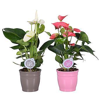 MoreLIPS® - 2 Flamingoplanten wit en roze - luchtzuiverende kamerplanten hoogte 35-45 cm - Anthurium andreanum