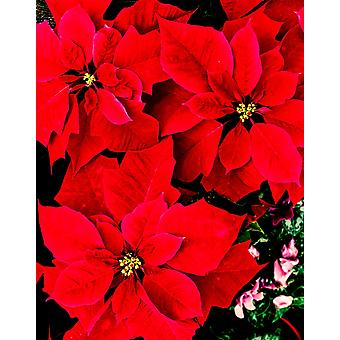 Close-up of red Poinsettia flowers Poster Print by Panoramic Images