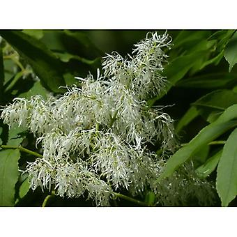 Fraxinus ornus (Manna ash) - Plant