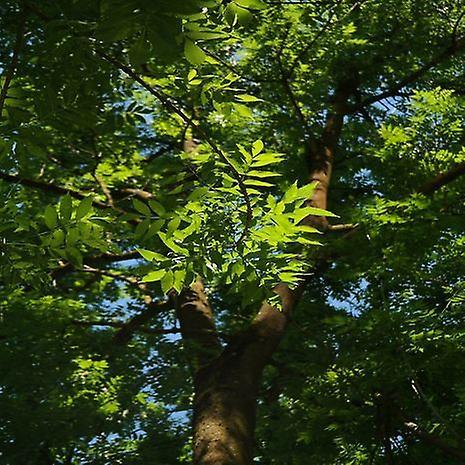 Fraxinus angustifolia (smal-leafas)-plant