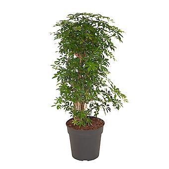 Indoor Plant from Botanicly – Dwarf umbrella tree – Height: 100 cm – Schefflera Luseana bush