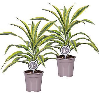 MoreLIPS® - 2 Drakenbloedbomen - in grijze kwekerspot Dracaena deremensis Lemon Lime