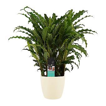 Calathea Bluestar ↕ 60 à 60 cm disponible avec jardinière | Calathea Bluestar