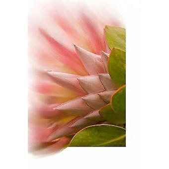 Impresión de cartel de flor Protea por Ramona Murdock