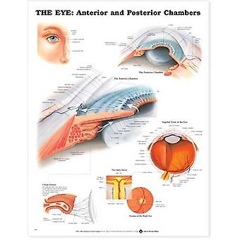 The Eye Anterior and Posterior Chambers by Prepared for publication by Anatomical Chart Company