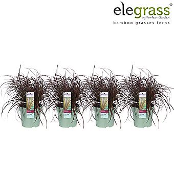 Grass from Botanicly – 4 × Fox Red Curly Sedge – Height: 30 cm – Uncinia rubra Everflame
