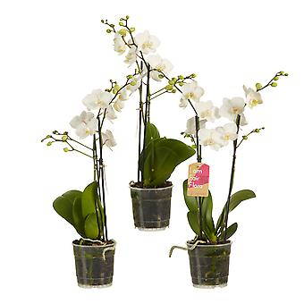 Choice of Green - Phalaenopsis multiflora White - Set of 3 - Butterfly Orchid