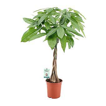Roślina wewnętrzna z Botanicly – Szczęśliwy kasztan – Wzrost: 90 cm – Pachira aquatica