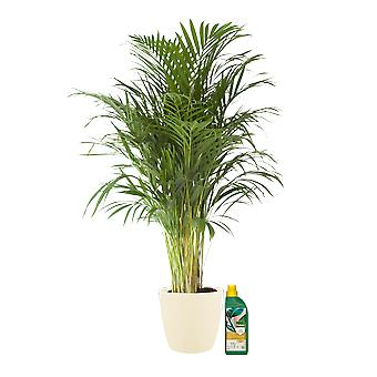 Indoor Plant – Golden cane palm in cream plant pot + 500 ml of fertilizer as a set – Height: 125 cm
