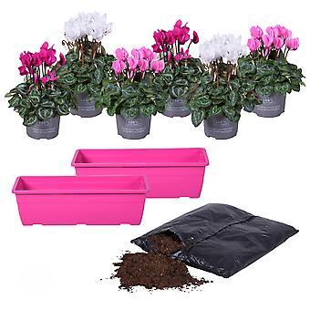 MoreLIPS® - Alpenviooltje DIY-balkon-plantenset 6X Alpenviooltje - inclusief potgrond Cyclamen
