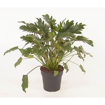 Plante d'intérieur de Botanicly – Philodendron grimpant – Hauteur: 60 cm – Philodendron Xanadu