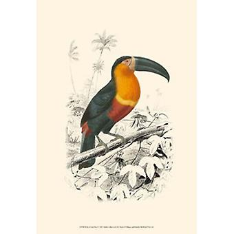 Birds of Costa Rica I Poster Print by C Dorbigney (13 x 19)