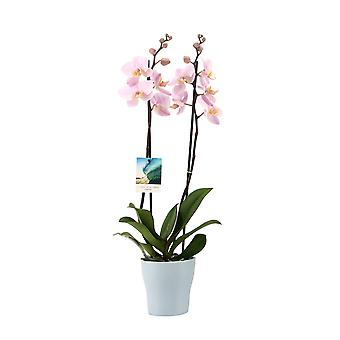 Your Natural Orchid - Phalaenopsis Orchid Pink in Travelvibes Ceramics Pot Quality Butterfly Orchid