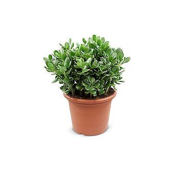 Roślina w pomieszczeniach z Botanicznie – Crassulla ovata – Wysokość: 50 cm