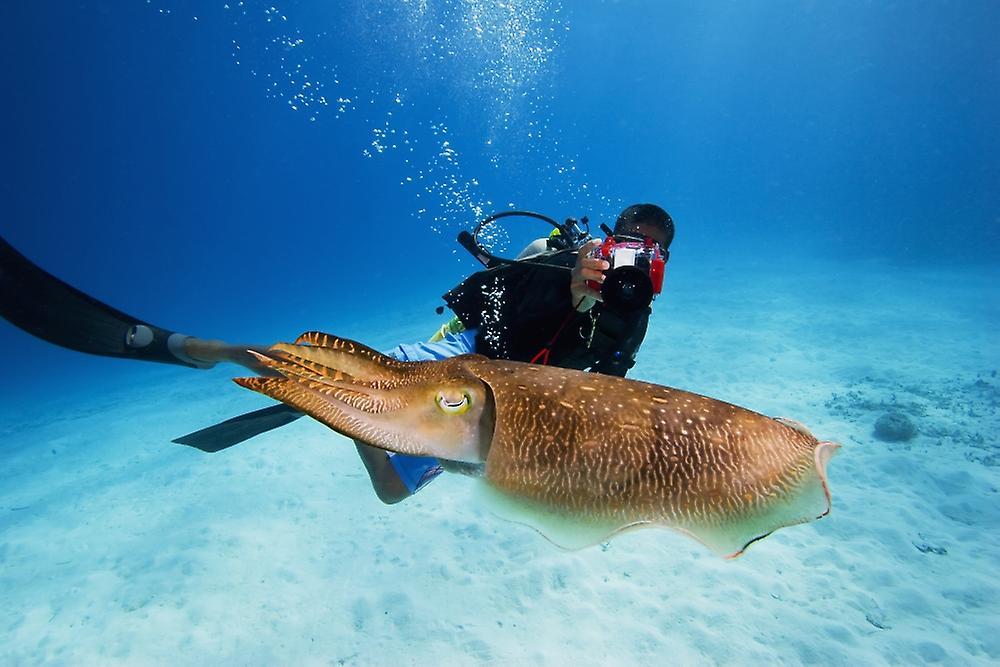Posterazzi Micronesia Diver With Camera Swims Near Common Cuttlefis...