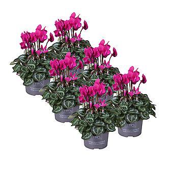 MoreLIPS® - Alppien orvokit - Cyclamen - sarja 6 kasvia - violetit kukat - korkeus 30-35 cm - potin halkaisija: 10,5 cm