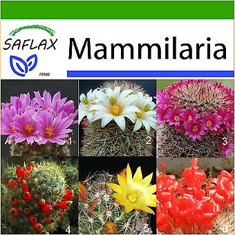Saflax - 40 seeds - With soil - Mammillaire Mix - Mélange de Mammillaria - Mammillaria (mix) - Mezcla mammillaria - Mammilaria Mischung