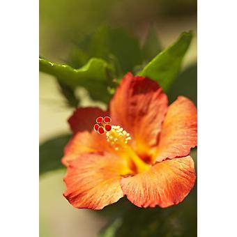 Ranskan Polynesia Tahiti Maupiti Hibiscus kukka PosterPrint