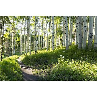 Tapete Mural Birch Hiking Trail