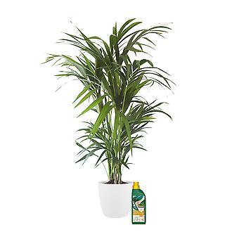 Kentiapalm ↕ 90 tot 125 cm verkrijgbaar met bloempot | Howea Forsteriana